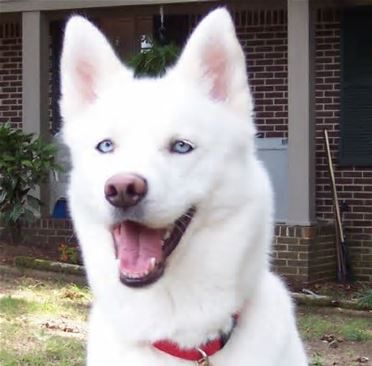White Husky With Blue Eyes Bing Images White Husky Husky Dogs
