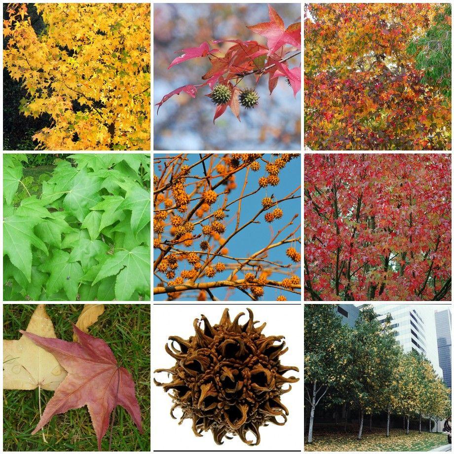 50 Natives Virginia Liqidamabar Styraciflua Sweetgum Fall Plants Aquatic Garden Garden Inspiration