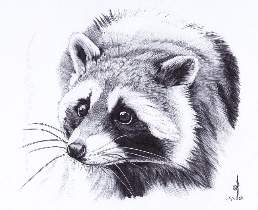 . Raccoon . by ~Maiwenn on deviantART | Raccoon | Raccoon ... Raccoon Drawing