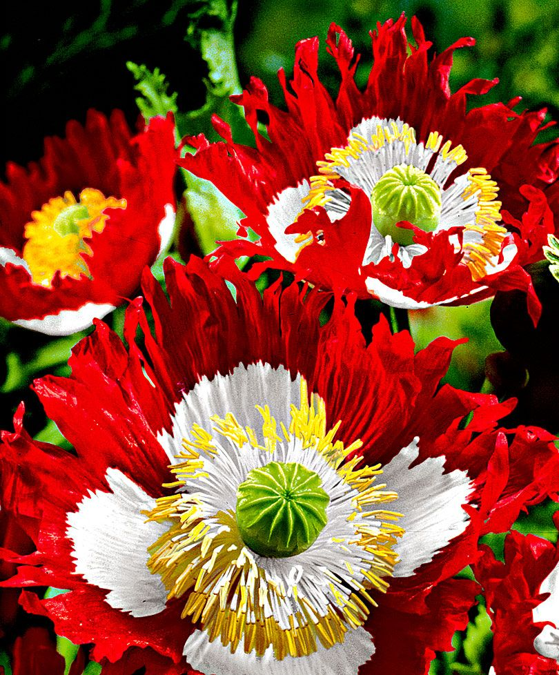 opium poppy u0027danish flag u0027 i have seeds and when we move to our