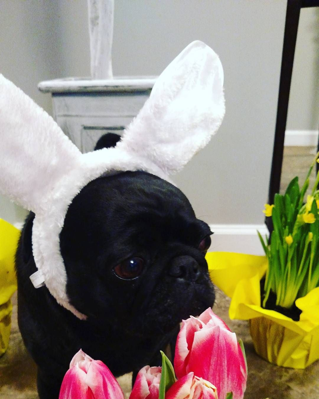 Happy Easter Instagram from me and my human Don't eat to many Easter treats or you will get  a stomach ache. #blackpugs #obsessedwithpugs #pugsofinstagram #pugworld #pugnation #pugworld #cutedog #instapug #pugstragram #thetomcoteshow #cutedog #snapwagdogs #dogoftheday #thetomcoteshow #pugbasement #buzzfeedanimals #flatnosedogsociety #pugsproud #pugsnotdrugs #pugbasement #pugchat #pugstragram ##dogsofinstagram #pugrules #pugandkisses #pugmania #pugoftheday #puglovers #pugrequest…