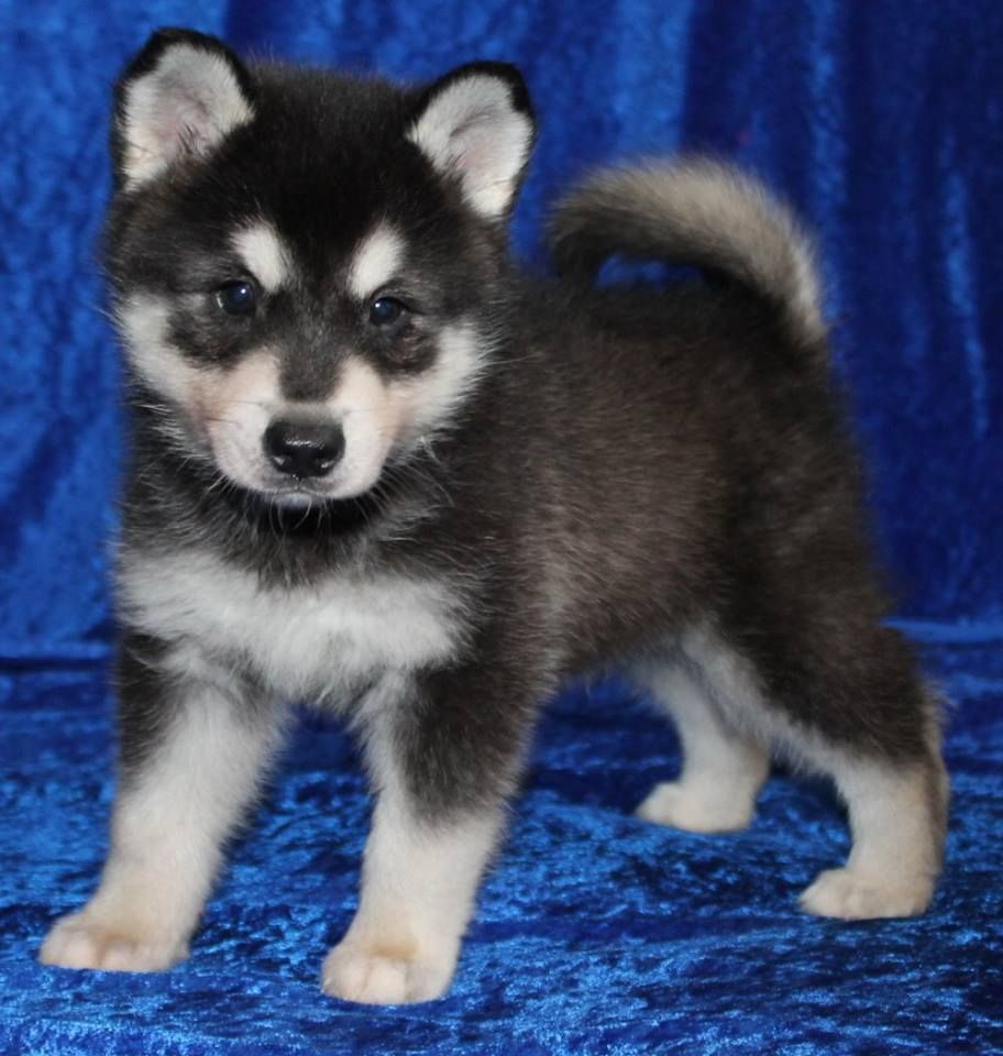 Alaskan Klee Kai Puppy For Sale In Texas Corgi Puppies For Sale