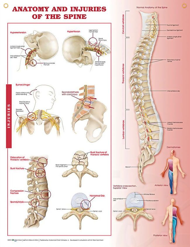 Anatomy And Injuries Of The Spine 20x26 Spinal Cord Anatomy And