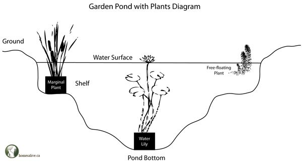 labeled diagram of water lily