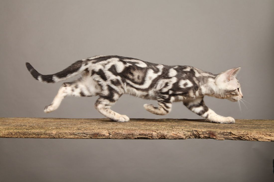 Saturday S Cute And Aww The White Marble Bengal Cat Marble Bengal Cat Bengal Kitten Bengal Cat