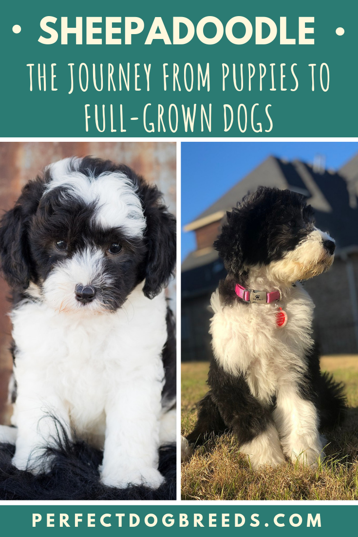 Journey From Sheepadoodle Puppies To Full Grown Dogs Sheepadoodle Sheepadoodle Puppy Puppies