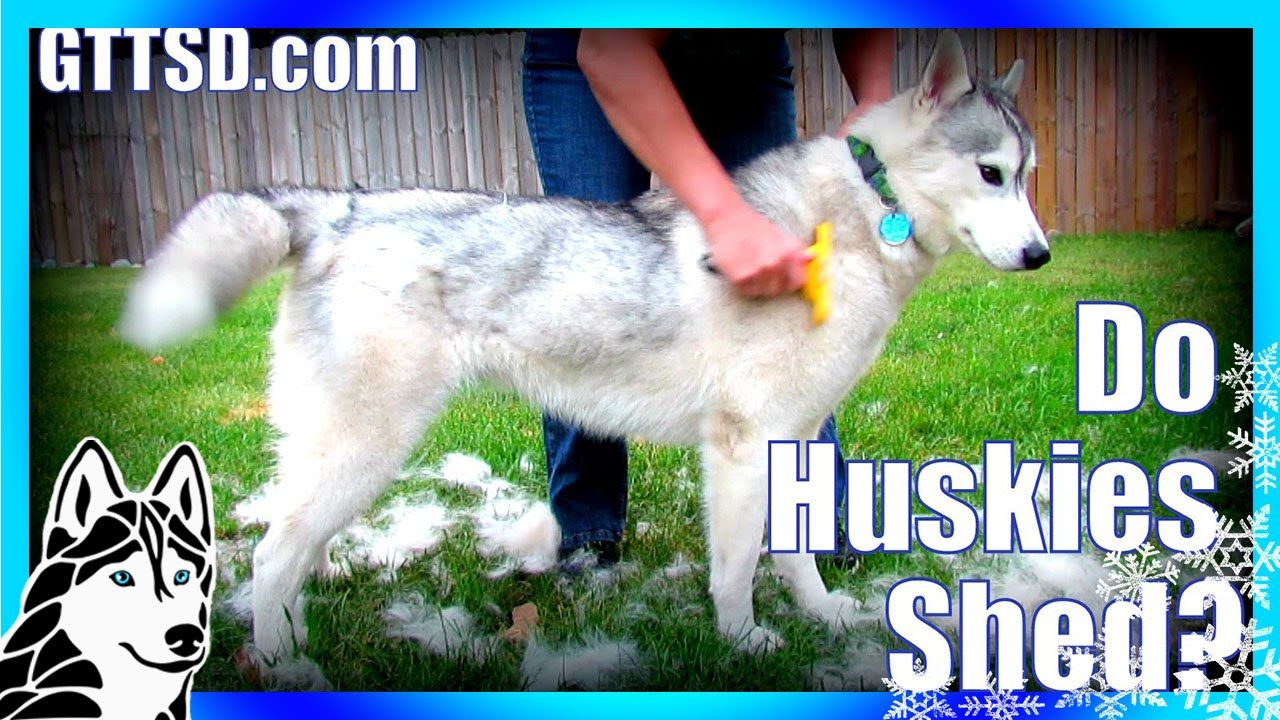 How Much Do Huskies Shed Furminator Siberian Husky Siberian