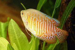 Dwarf Gourami Tropical Fish Aquarium Tropical Freshwater Fish Tropical Fish