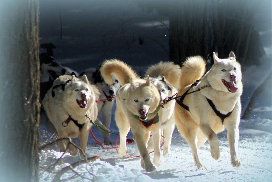 Arctic Paws Dog Sled Tour Dogs Train Tour Arctic