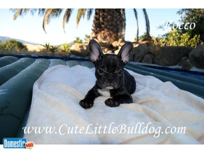 Vacaville California United States Bulldog Puppies Bulldog