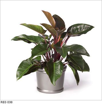 Philodendron Red Congo live office floor plants for indoor use ...