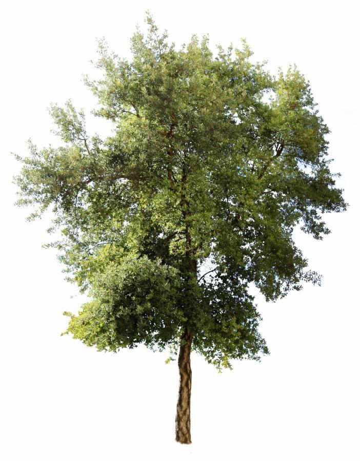 Quercus Suber Iv Tree Photoshop Landscape Architecture Drawing Landscape Architecture Model