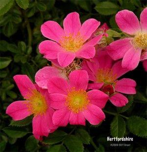 RP: Hertfordshire - Groundcover Shrub Roses