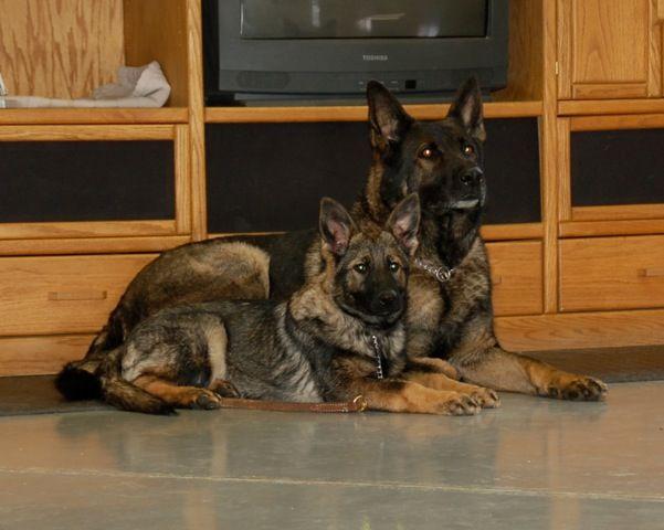 West Virginia German Shepherd Breeder With Quality Ddr Pups