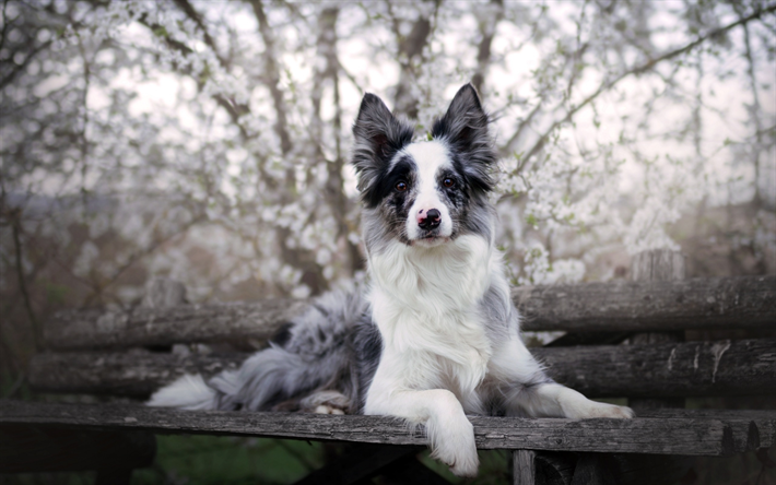 Download Wallpapers Border Collie Black And White Dog Pets Wooden Bench Park Dogs Besthqwallpapers Com Border Collie Blue Merle Beautiful Dog Breeds Border Collie
