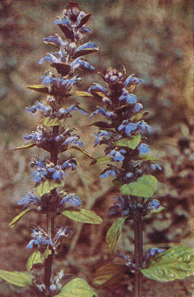 Bugle - Antique 1912 Botanical Wild Flower Print by H Essenhigh Corke