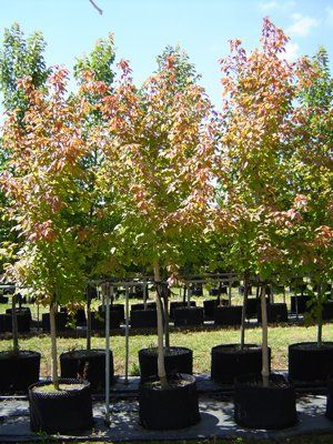 Acer Negundo Sensation Sensation Maple Deciduous Garden
