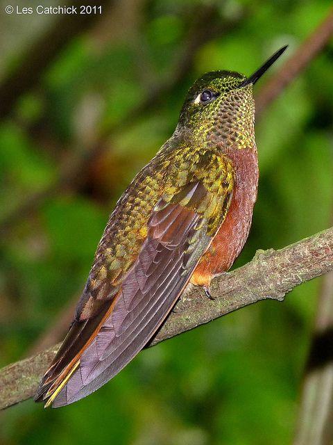 Hummingbird (Chestnut-breasted coronet)