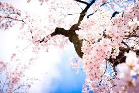 Cherry Blossom Tree Wallpaper Google Search Cherry Blossom Wallpaper Anime Cherry Blossom Sakura Tree