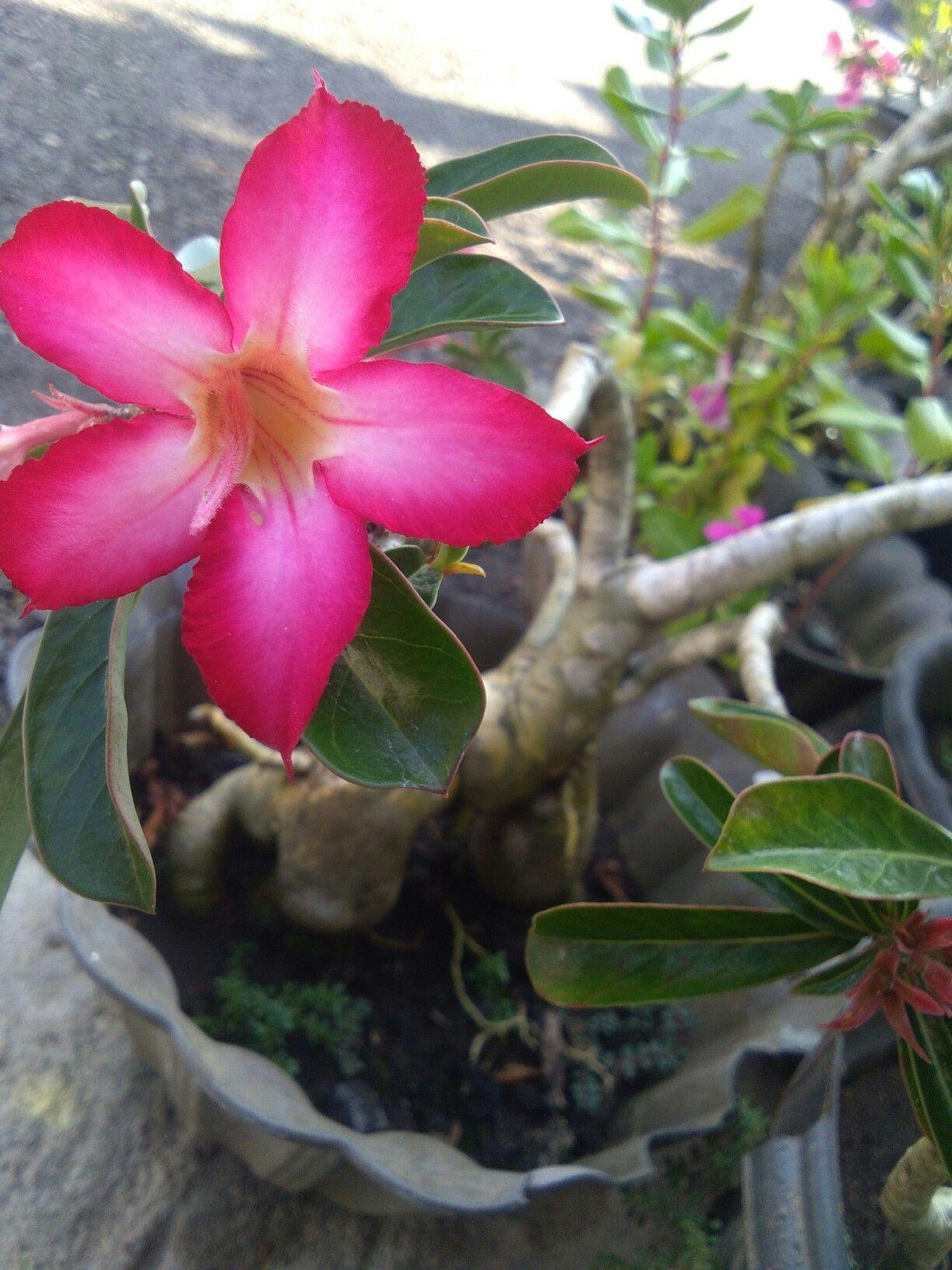 Plumeria Or Bunga Kamboja