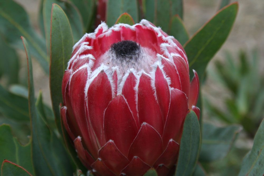 A Guide To Growing Proteas Protea Flower Protea Amazing Flowers