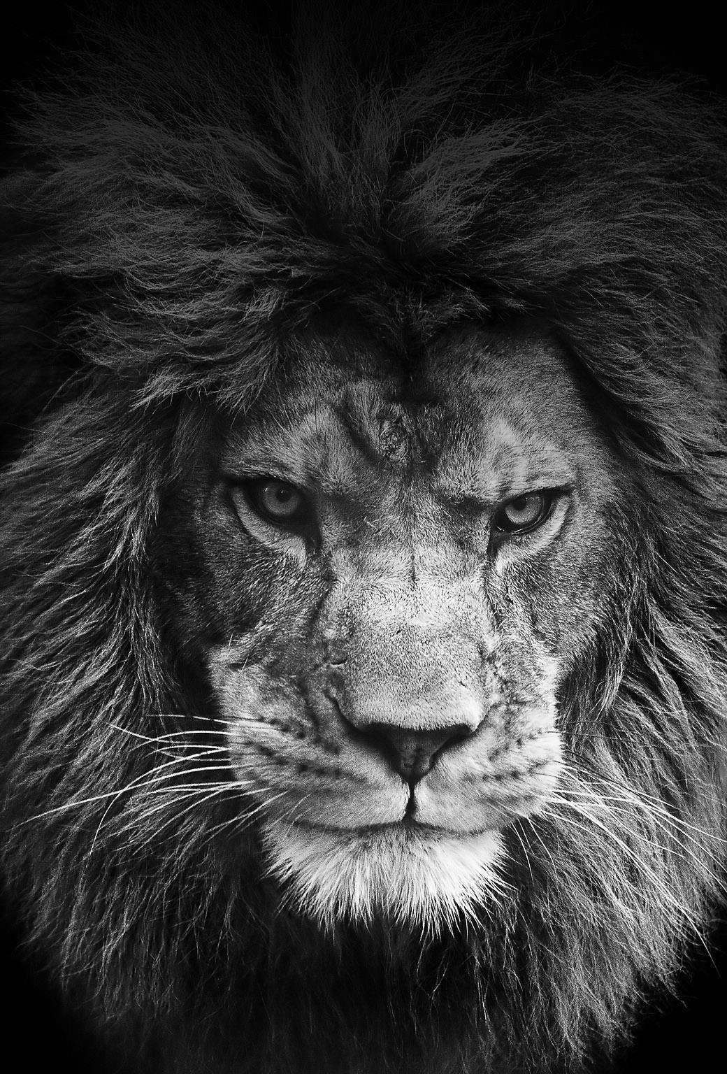 lion black and white Pesquisa Google Fotografia de