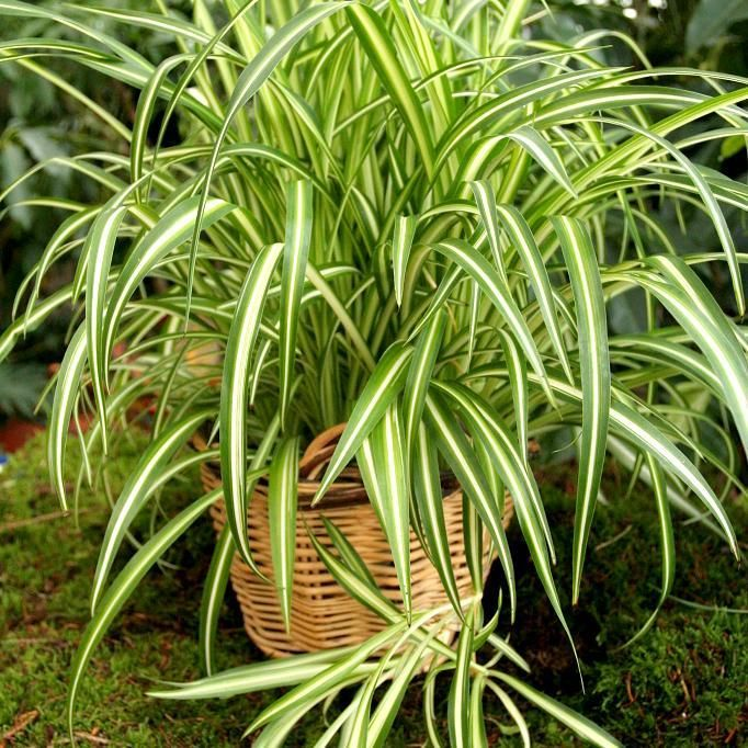 chlorophytum comosum 39 variegatum 39 guide de survie de la plante plantes pinterest plante. Black Bedroom Furniture Sets. Home Design Ideas