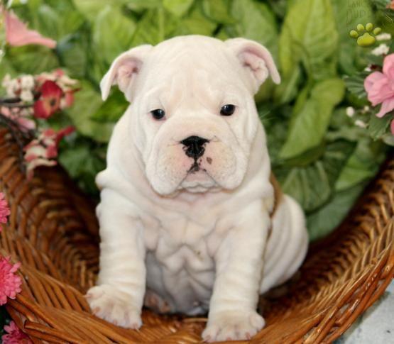 Pin On English Bulldog Puppies