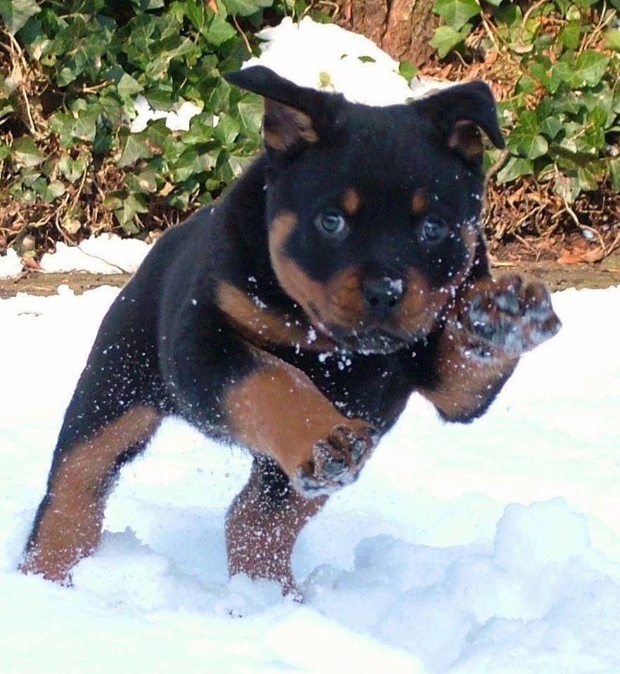 #Rottweiler puppy