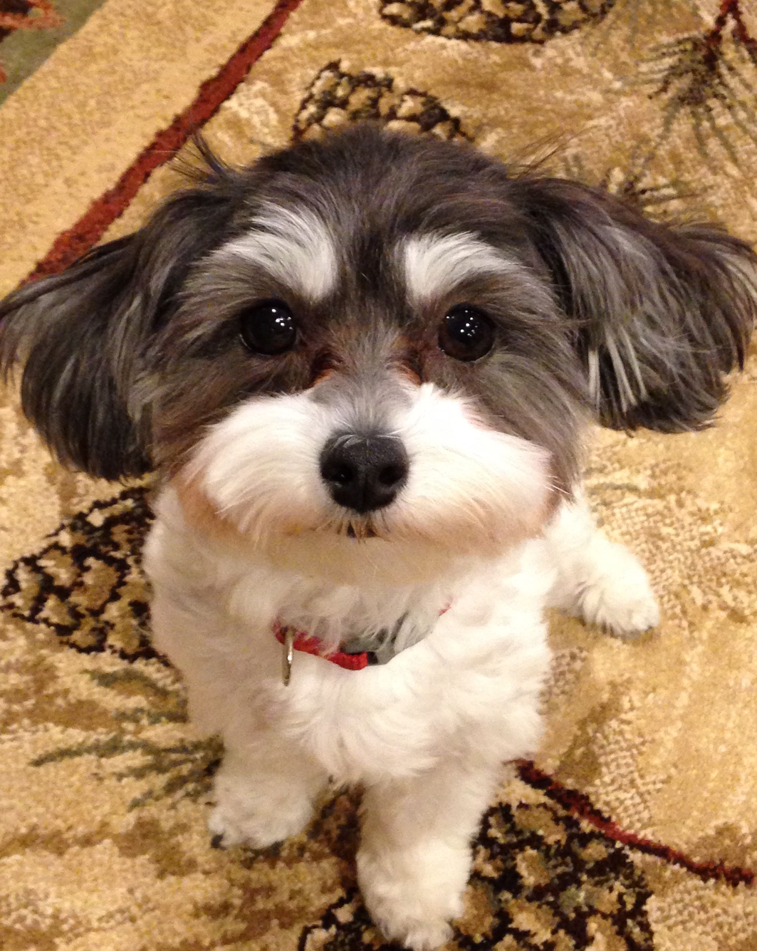 Maltipoo Black And White Maltipoo Maltipoo Haircuts Maltese Puppy