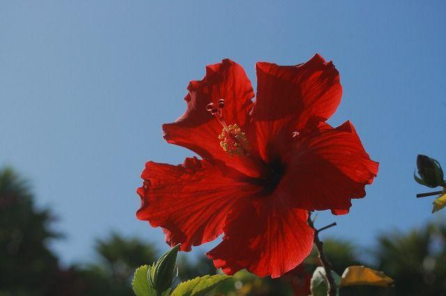 Hibiscus, Kauai HI