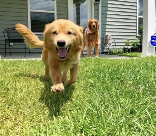 Adopt Q Bert On Golden Retriever Rescue Murrells Inlet Golden