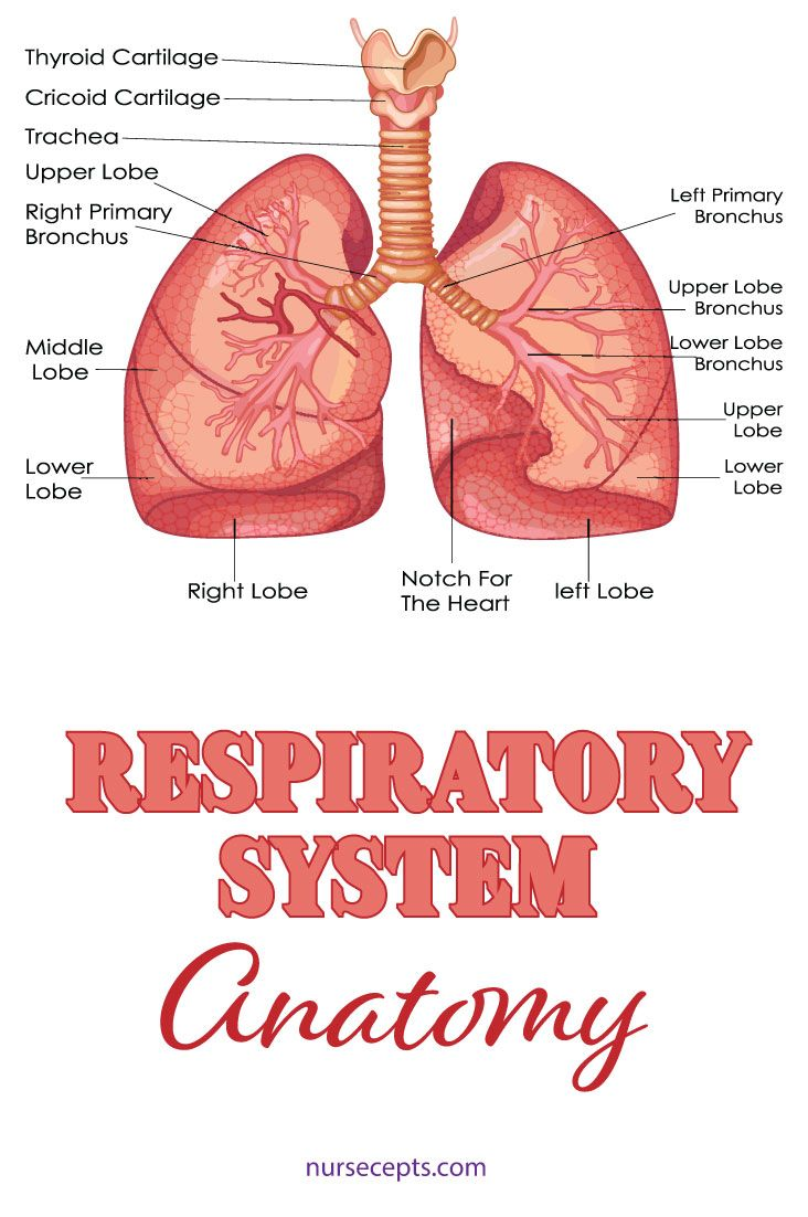 9 Facts About The Respiratory System Nursing Students Should Know