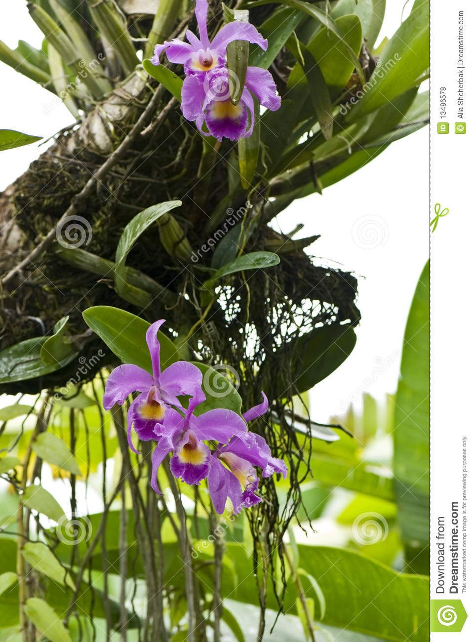 Orchids Growing On A Tree Download From Over 38 Million High Quality Stock Photos Images Vectors Sign Up Beautiful Flowers Garden Orchids Cattleya Orchid