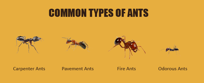 How To Get Rid Of Ants In The House With Natural Home Remedies Types Of Ants Different Types Of Ants Garden Pests