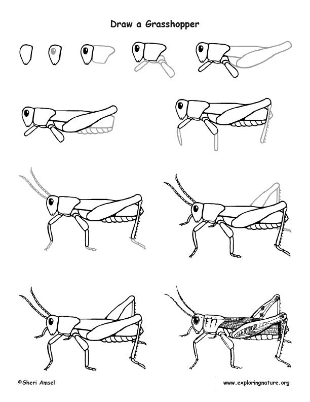 Learn to draw a grasshopper from exploringnature org