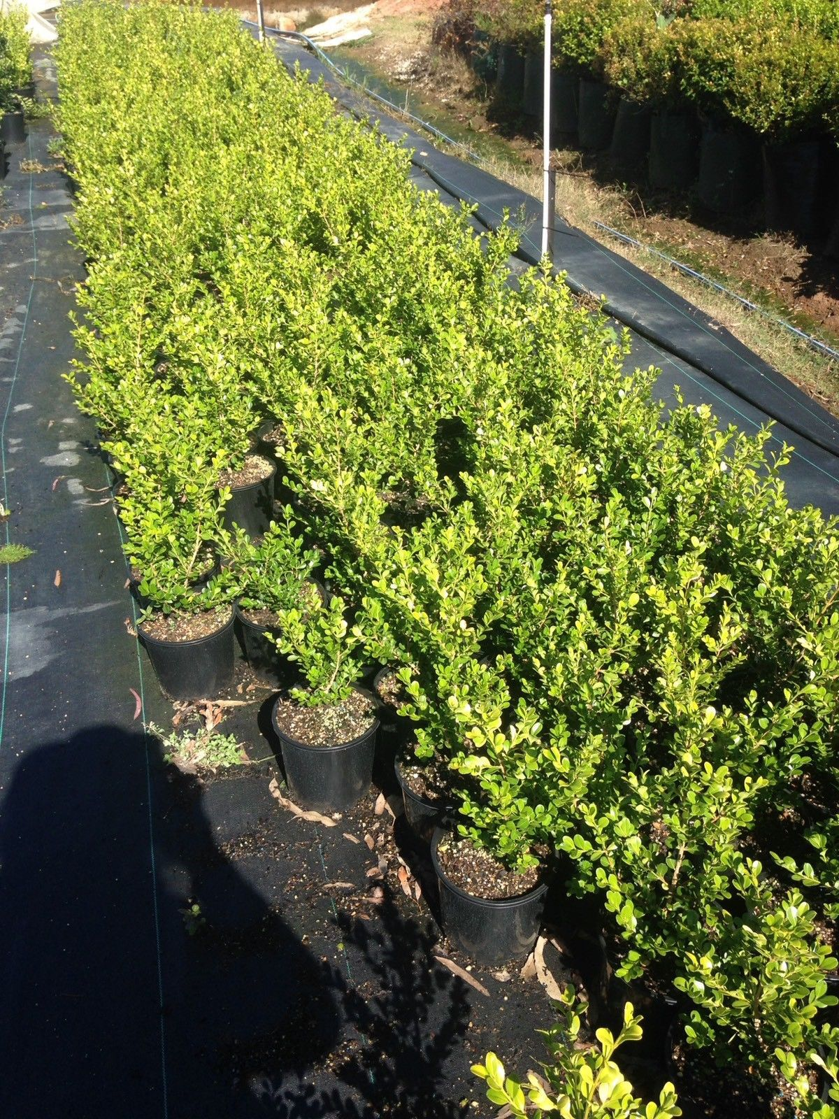 Buy Hedge Plant Directly From Grower Variety And Pot Sizes Which Are Available Currently 200 Mm Pots Hedge Plants From 7 Dollars Plants Hedges Viburnum