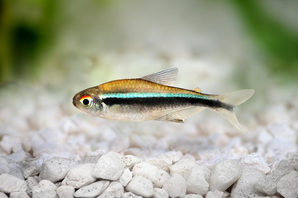 Black Neon Tetra Fish Bazaar In 2020 Tetra Fish Neon Tetra Neon Tetra Fish
