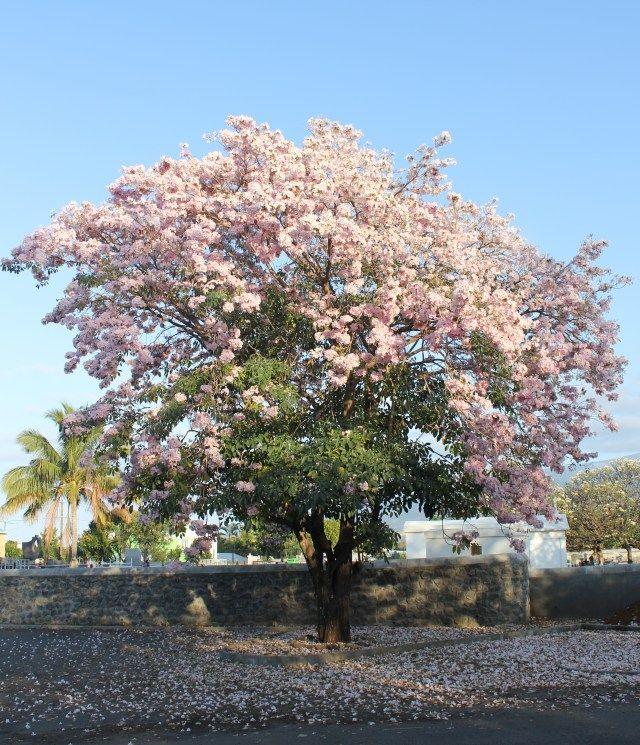 Rosa morada o primavera tabebuia rosea arbol tropical - Arbol de rosas ...