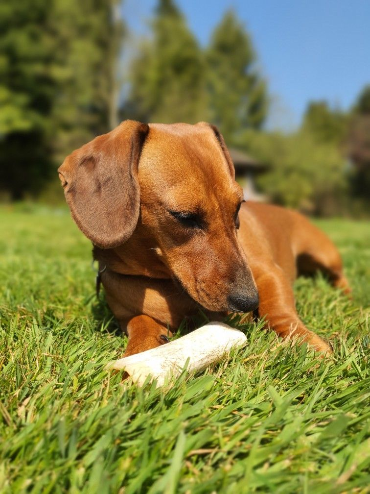Dachshund Puppies For Sale In Winchester Va References
