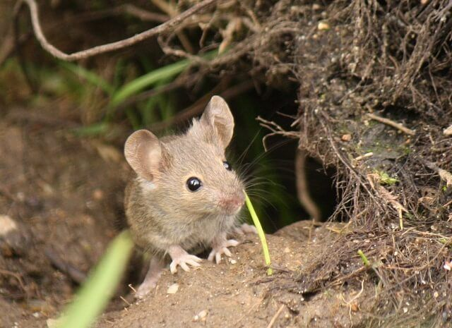 Can Pet Mice Live Outside | Pet mice, Animals, Pets