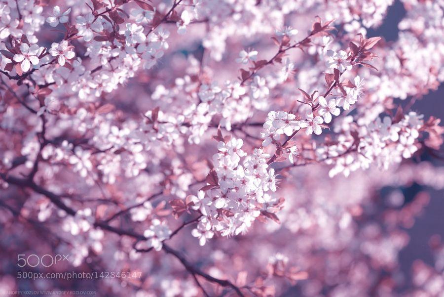 Cherry Flowers by cyrustr