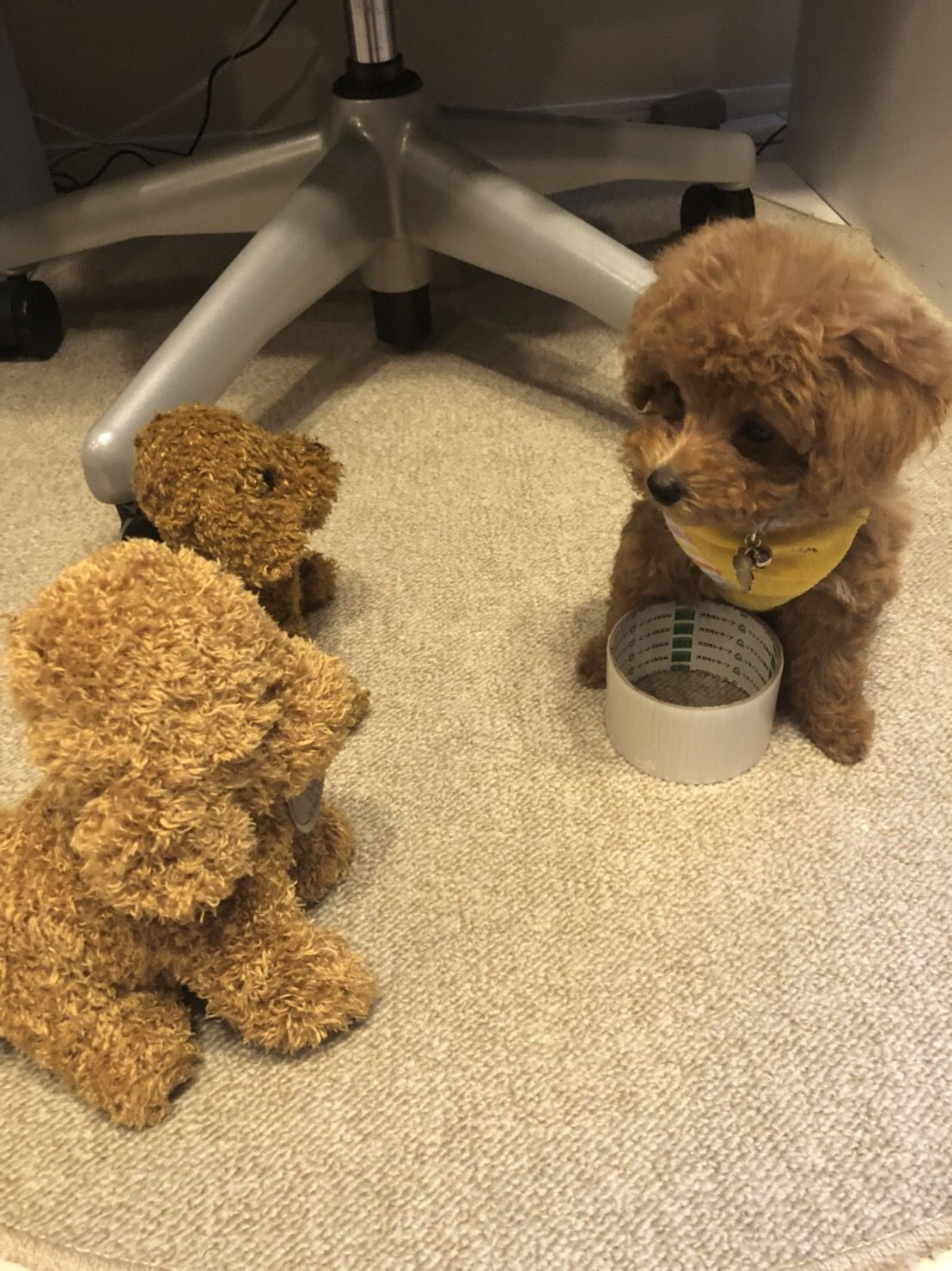 作戦会議! poodle トイプードル toypoodle ティーカップ