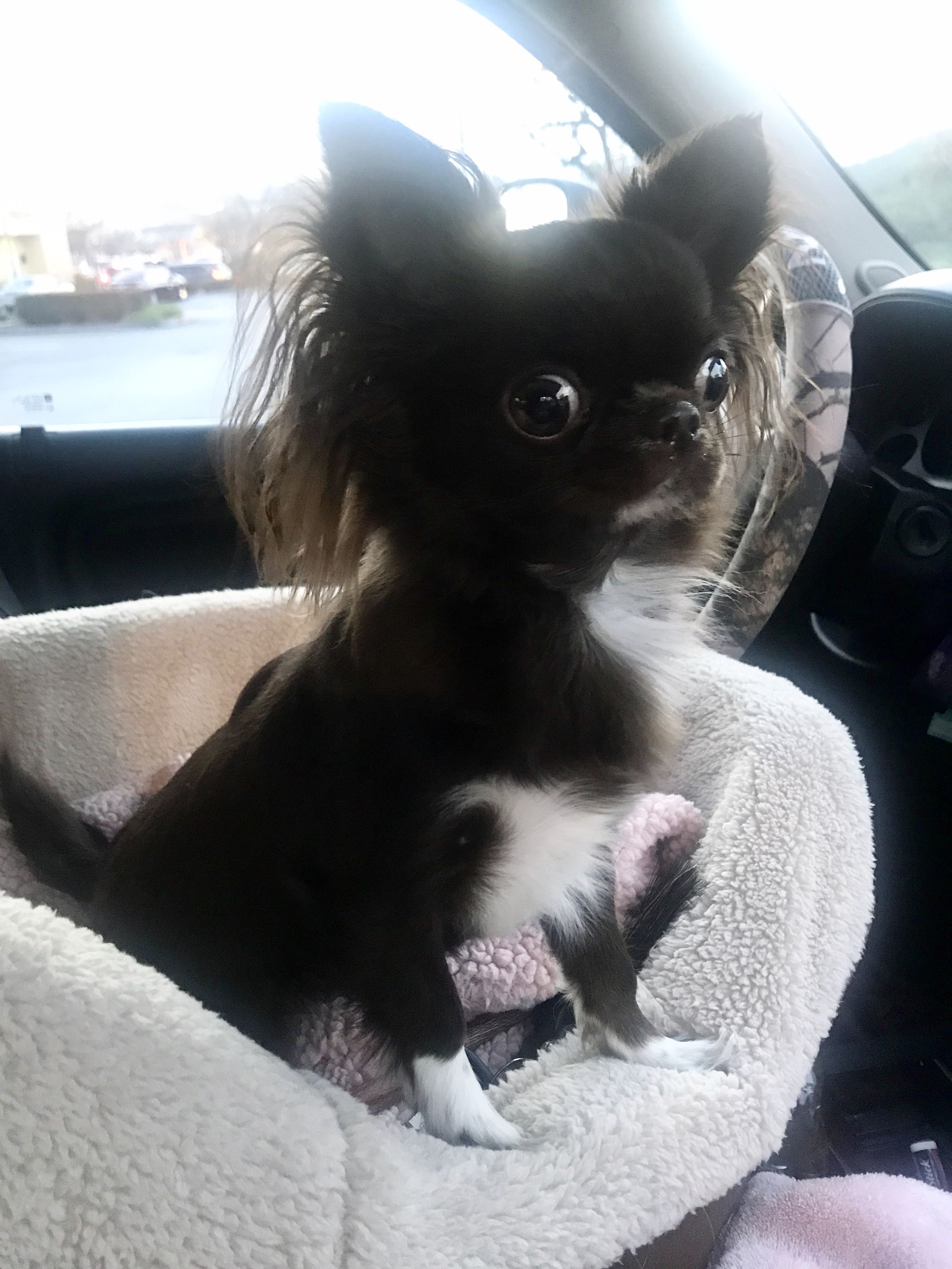 Pin by las Vegas tiny Chihuahua on Chocolate Longhair