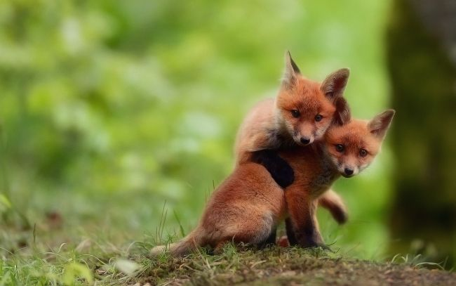 Baby foxes Wallpapers Pictures Photos Images