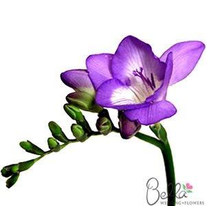 Purple Freesia Flowers Paarse Bloemen Bloemen Kleuren