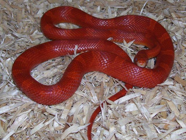 Pin On Corn Snakes