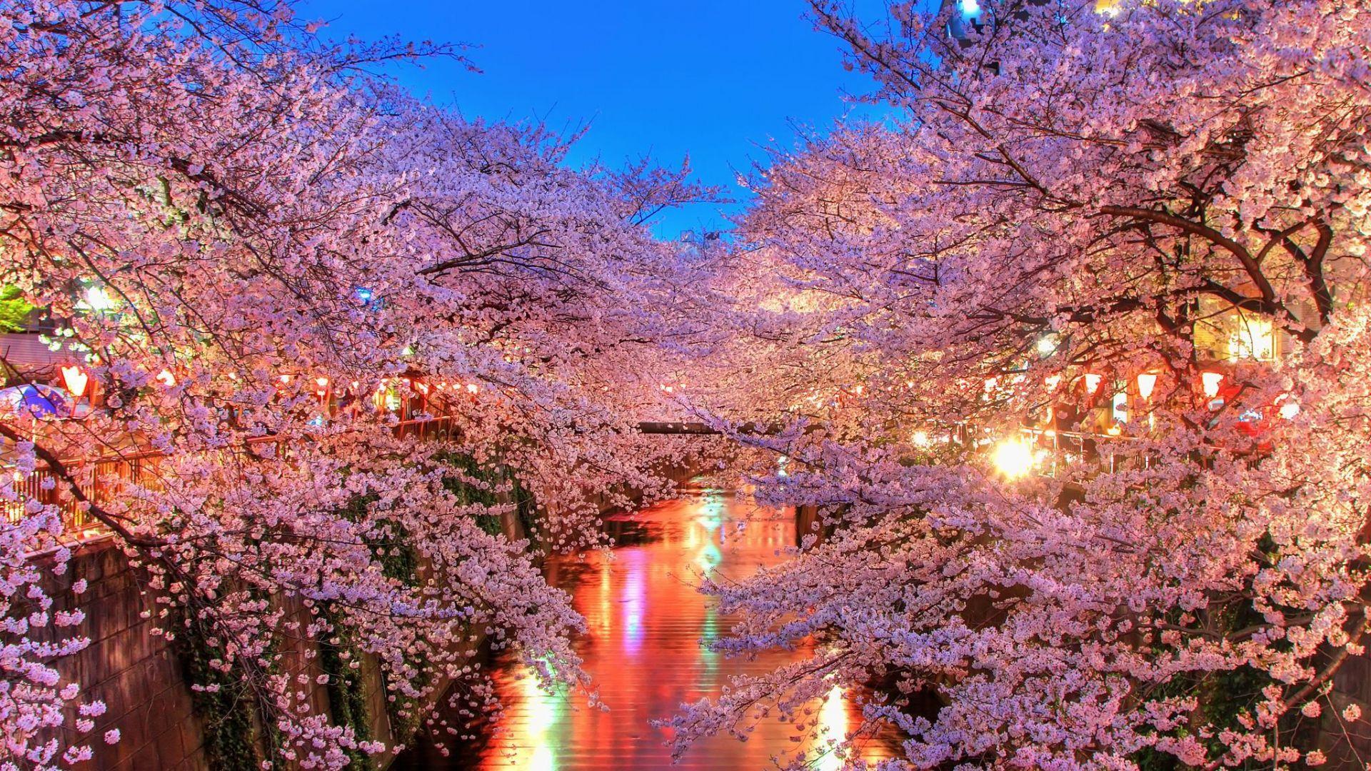 1920x1080 Wallpaper O Hanami Blossom Sakura Japan Bunga Sakura Gambar Bunga Sakura