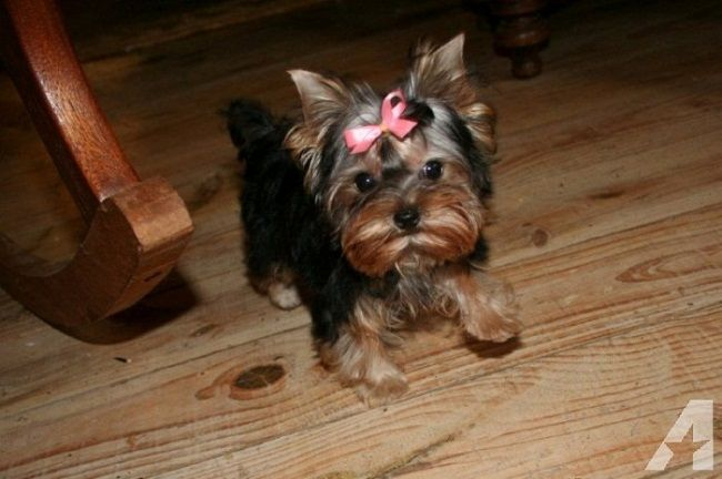 Teacup Yorkie Puppies For Sale In Indiana Zoe Fans Blog Yorkie Puppy Teacup Yorkie Puppy Yorkie Puppy For Sale