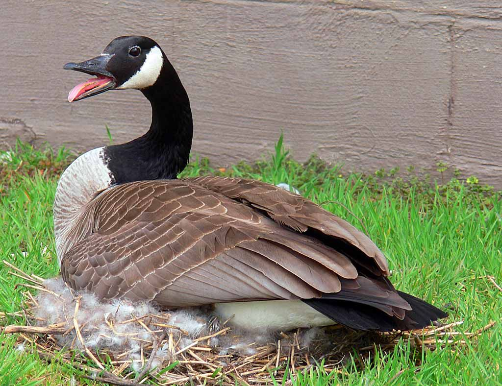 A picture of my uncvles duck charlie sprongbrunk2k14 selfie canada goose the canada goose is the most widespread and familiar north american goose bu there are different subspecies that vary in sizes biocorpaavc